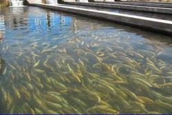 В Южной Осетии освоят рыбоводческие хозяйства