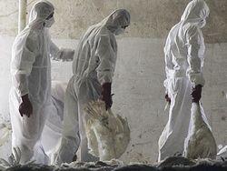 В Индонезии вновь проявился вирус птичьего гриппа