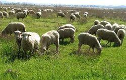 В Армении намерены развивать овцеводство