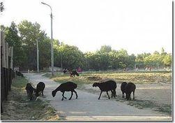 Как в Грузии намерены бороться с неконтролируемым выпасом скота?