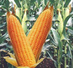 Отмена квот на экспорт кукурузы на пике мировых цен