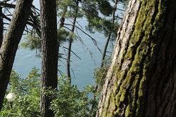 Инвесторам: сохранит ли Крым реликтовые деревья для потомков?