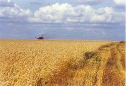 В префектуре Фукусима выявили радиоактивную пшеницу