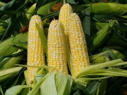 Как грузинские парламентарии оценили «кукурузный» эксперимент?