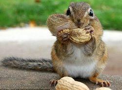 Для французов два ореха лучше, чем один