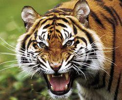 Директора зоопарка ждет суд за нападение тигра на ребенка