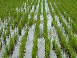 Почему в Таджикистане на полях пропадает рис?
