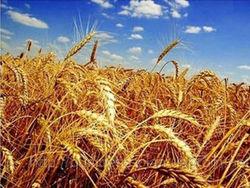 Азербайджан повысил прогноз производства зерновых