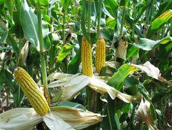 Как реализуется программа привлечения фермеров к выращиванию кукурузы?