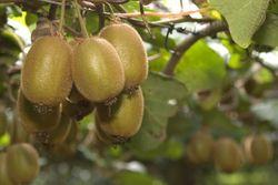 Узбекские аграрии собрали первый урожай киви