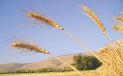 Прогноз по пшенице для России