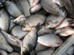 качество рыбы