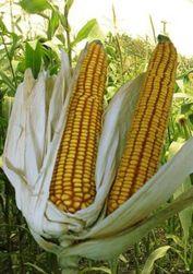 Будут ли в Грузии выращивать гибридную кукурузу?