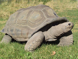 пара черепах