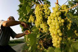 виноградари