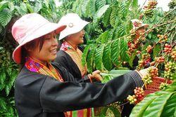 Урожай кофе во Вьетнаме на фоне засухи сократится на 30 процентов