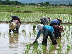 Рис в Таиланде