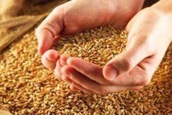 Закупка в Индии 2-3 млн. т пшеницы