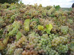 Российское вино подорожает на 15 процентов