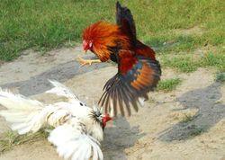 Избит домашней птицей