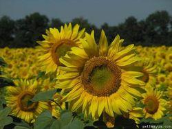 Экспорт украинского подсолнечного масла