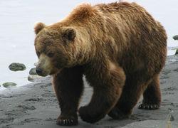 цирковая медведица
