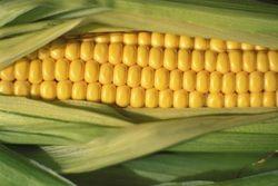 Конечные запасы кукурузы в США