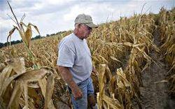 Инвесторам: урожай кукурузы сократится наполовину, сои – на треть
