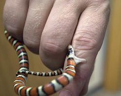 В Ставрополе мексиканская змея заползла в квартиру через унитаз