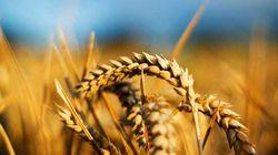 Пшеница в Алжир
