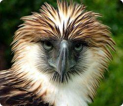 филиппинский орел