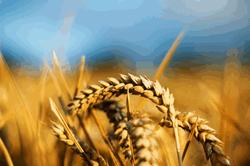 Обвал цен на пшеницу в США