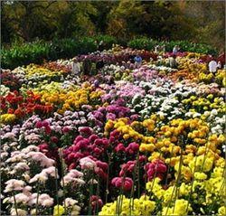Выставка хризантем в украинской столице