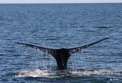 Пассажирский корабль столкнулся с китом у берегов Японии
