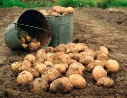 Почему кыргызские овощи и картофель остаются не востребованными?