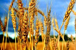 Пшеничные котировки