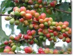 Рынок кофе: новые цены на сорт «Робуста»