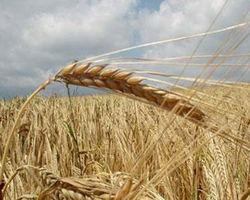 Россия: рекорд по экспорту пшеницы