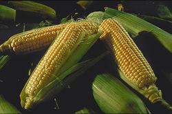 Рост котировок кукурузы и пшеницы