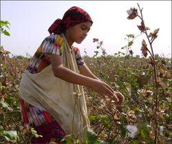 Хлопка в Узбекистане собрали на треть меньше объявленного