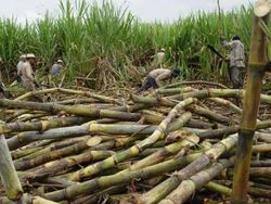 Сбору урожая тростника