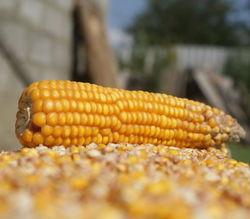 Снижение запасов кукурузы и пшеницы