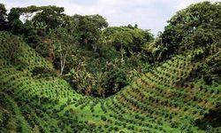 Состояние кофейных плантаций Бразилии