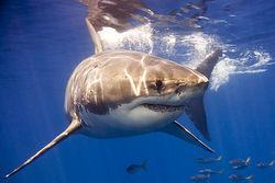 Акулы у популярных курортов Египта