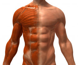 Причины старения мышц