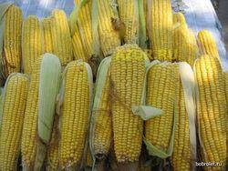 Из-за жары страна не доберет треть урожая кукурузы