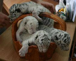 Детеныши Тигрюли