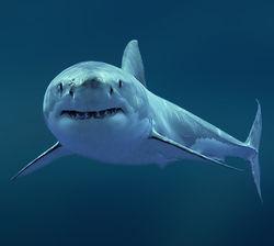 Отстрел краснокнижных белых акул