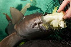 акула начала питаться кормом для черепах
