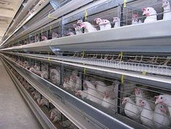 Умерли 100 тыс. птиц на птицефабрике